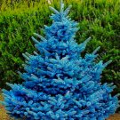 Super Sale 500 Seeds Blue Spruce Tree Picea Pungens Potted Bonsai Evergreen