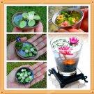 Super 10 Pcs Real Miniature Lotus Water Lily Seeds Visual Enjoyment Bonsai Plant
