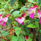 Super 50 Seeds Impatiens Psittacina Orchid Parrot Flower Garden Plants