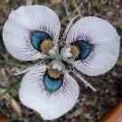 Super 100 Seeds Rare Moraea Iridioides Flower Exotic Plants Plant Garden Home