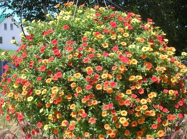 Super 100 Seeds Mini Calibrachoa Petunia Mix Flower Autumn Seasons