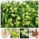 Super 20 Seeds Ziziphus Jujube Hardy Plant Rare Fruit Good For Health
