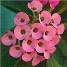 Super 100 Seeds Pink Euphorbia Milii Bonsai Outdoor Spurge Flower Plants