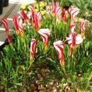 Super 100 Seeds Oxalis Versicolor Beautiful Candy Cane Ssorrel Flower Plants