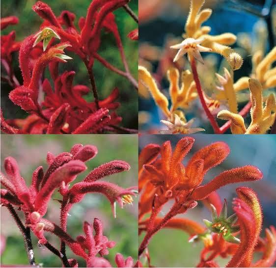 Super 20 Seeds Kangaroo Paw Mix Flower Western Australia Garden Plant