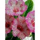 Super 100 Seeds Gloxinia Sinningia Flower Ornamental Garden Plant