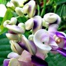 Super 50 Seeds Rare Japanese Snail Vine Purple Climbing Cochliasanthus