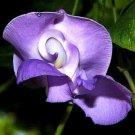 Super 20 Seeds Lavender Snail Vine Flower Vigna Caracalla Loves Heat
