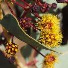 Premium 2 Seeds Acacia Inaequilatera Plant Camel Bush Ornamental Garden