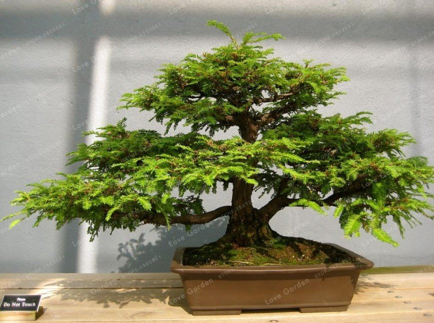 Super 30 Seeds Coast Redwood Bonsai Sequoia Sempervirens Evergreen Plants