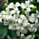 Super 20 Seeds Orange Jasmine Fragrant Flower Murraya Paniculata Plant