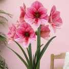 Super 50 Seeds Exotic Amaryllis Flower Barbados Lily Plant Garden Decor