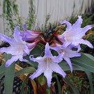 Premium Bulb True Amaryllis Barbados Lily Hippeastrum Flower Fast Shipping