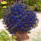 Super 100 Seeds Sky Blue Calibrachoa Petunia Flower Rare Variety Flower Plant