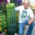 Super 50 Seeds Giant Cucumber Rare Plants Heirloom High Budding Rate Healthy