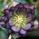 Super 100 Seeds Purple Helleborus Plant Hellebores Rose Winter Garden Flower
