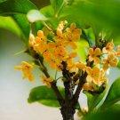 Super 10 Seeds Osmanthus Plant Beautiful Garden Fragrant Flower Yard