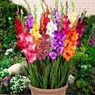 Super 100 Seeds Mixed Striped Gladiolus Flower Plant Rare Sword Lily Flower