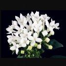 Super 50 Seeds White French Bouvardia Longiflora Flower Ornamental Plants