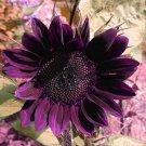Super 40 Seeds Moulin Rouge Series Purple Black Sunflower Garden Decor