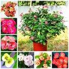 Super 100 Seeds Euphorbia Milii Hybrid Middle Big Flowers Crown Of Thorns