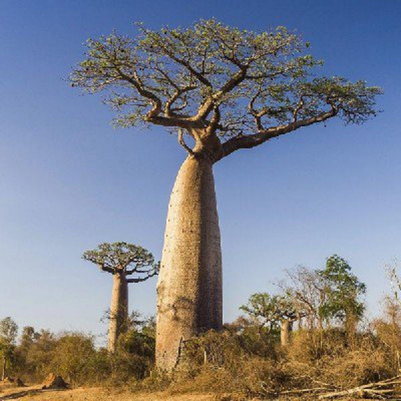 Super 2 Seeds Rare Grandidiers Baobab Adansonia Giant Interesting Tree