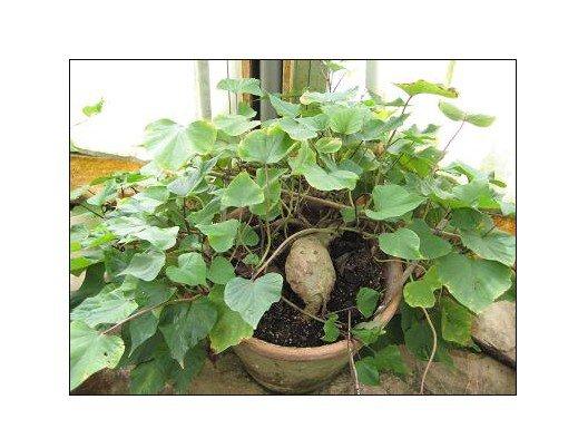 Super 80 Seeds Kudzu Indian Pueraria Tuberosa Crawling Garden Plants