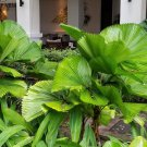 Super 40 Seeds Licuala Cordate Rare Mellow Leaves Perennial Garden Plants