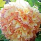 Super 5 Seeds Rare Dark Gold With Light Red Kinkaku Tree Peony Flower Plant