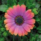 Super Sale 100 Seeds Copper Amethyst African Daisy Gerbera Jamesonii Flower