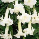 Super 30 Seeds Datura Plants Herbs Trumpet White Flower Garden Decor