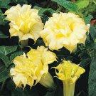 Super 30 Seeds Datura Plants Herbs Trumpet Yellow Flower Garden Decor