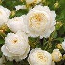 Super 50 Seeds Claire Austin White Shrub Rose Elegant Large Fragrant Flowers