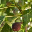 Fig Black Mission Fruiting Tree Garden Fruit Plant Natural Food Source
