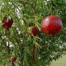 Pomegranate Wonderful Punica granatum Actively Growing Buah Delima