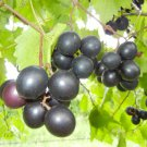 Vitis Southern Home Muscadine Grape Garden Plant Healthy Fruit