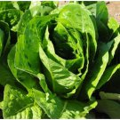 Premium Sale 2000 Seeds Heirloom Romaine Parris Island Lettuce Non-GMO
