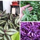 Super 3 Types Variety Lot Tradescantia Zebrina Wandering Jew No Roots