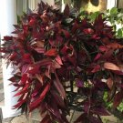 Super 3 Fresh Cuttings Wandering Jew Copper Red Gem Tradescantia Zebrina