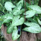 Super 2 Syngonium Mango Arrowhead Plant Rooted White Butterfly