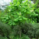 Premium 10 Seeds Ashe's Magnolia Exotic Magnolia Ashei Yard Tree