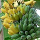 Ice Cream Hardy Banana Plant Tasty Fruit Tree Blue Java Tropical Garden