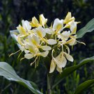 Yellow Butterfly Ginger Hedychium Flavum Flower Plant Attractor Showy