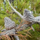 Premium 25 Seeds Lodgepole Pine Tree Pinus Contorta Latifolia Exotic Plant