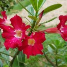 Adenium Obesum Bonsai Red Desert Rose Exotic Plant Garden Decor