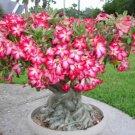 Adenium Obesum Bonsai Pink Desert Rose Exotic Tropical Plant Garden Decor