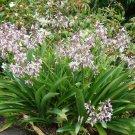 Super 20 Seeds Renga Renga Lily Beautiful Arthropodium Cirratum AU Plant