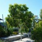 Super Sale 200 Seeds Snow Queen Rare Eucalyptus Victrix AU Plant