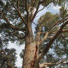 Super 20 Seeds WA Marri Red Gum Tree Corymbia Calophylla AU Plant