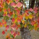 Super 30 Seeds Sapium Sebiferum Chinese Tallow Tree AU Plant